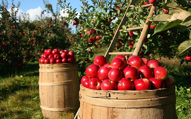 Jablkové hodovanie